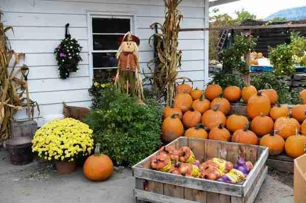 Zucche in un'azienda agricola nel periodo di Halloween.