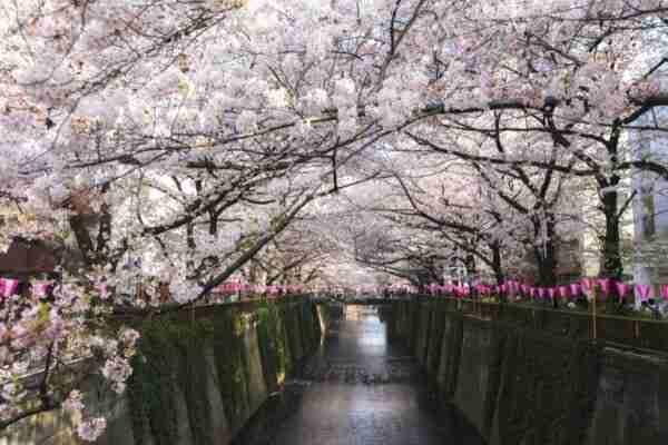 Fiume Meguro durante la fioritura dei ciliegi, Tokyo